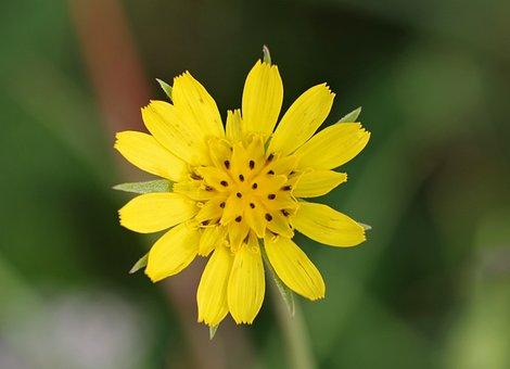 Yellow, Flower, Single, Yellow Flower, Meadow, Plant