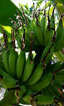 Banana, Fruit, Plantation, Bunches, Plants