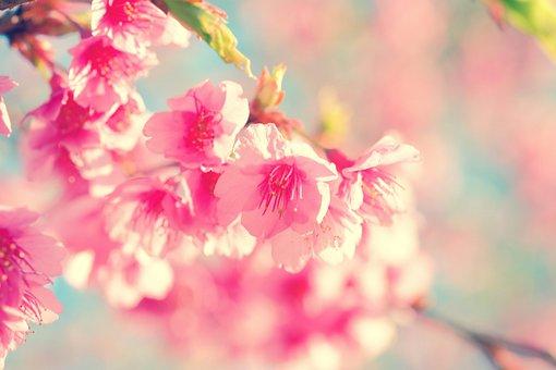 Flower, Cherry Blossom, Japanese Cherry, Sakura, Nature