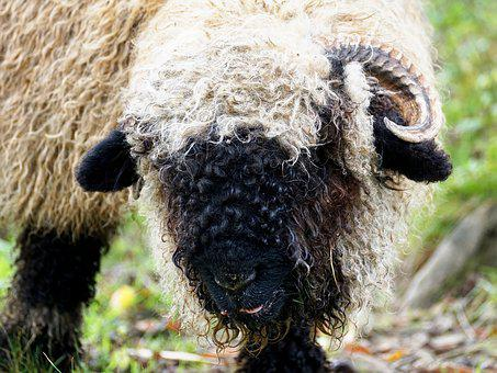 Black Nosed Sheep, Sheep, Valais Black Nose Sheep