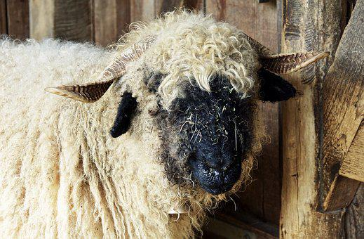 Black Nosed Sheep, Sheep, Valais Black Nose Sheep