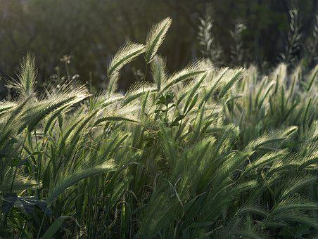 Spikes, Wild, Nature, Vegetable, Plant, Wild Flower