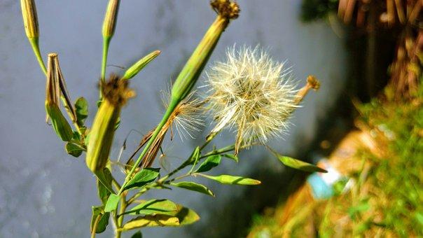 Dandelion, White Flower, Nature, Plant