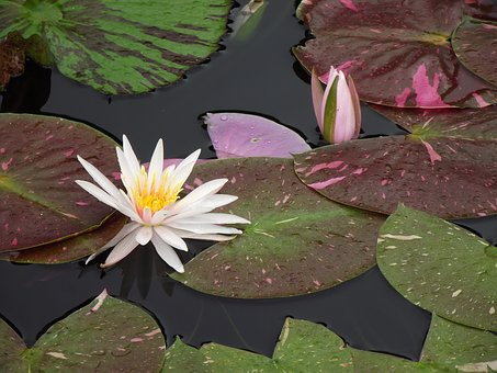 White, Water Lily, Water, Flower, Nature, Pond, Garden