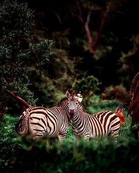 Africa, Zebra, Animals, Wildlife, Safari, Landscape