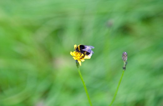 Bourdon, Bee, Flower, Insect, Nature, Spring, Foraging