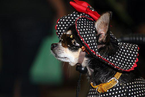 Dog, Chihuahua, Diva, Cute, Hat, Dressed Up, Fancy