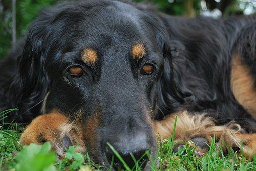Dog Face, Hovawart, Sad