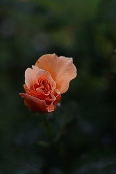 Peach, Rose, Flower, Love, Floral, Nature, Elegant