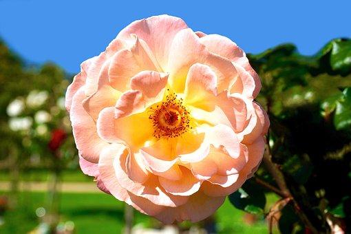 Pink, Flower, Floral, Blossom, Petal, Pink Flowers