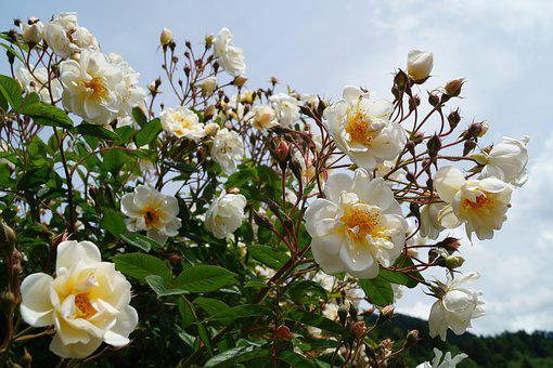 Rosebush, Rose Bloom, Flower, Rose Bud, Garden Roses
