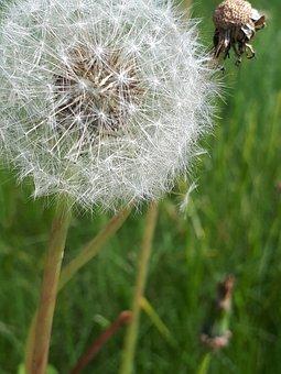 Dandelion, Grass