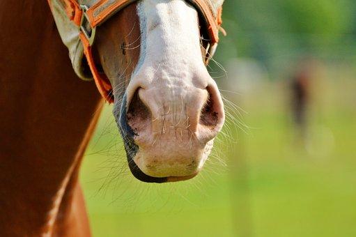 Horse, Horse Head, Nostrils, Brown, Head, Animal