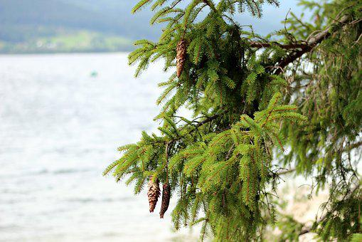Conifer, Spruce, Tap, Pine Cones, Tree, Branch