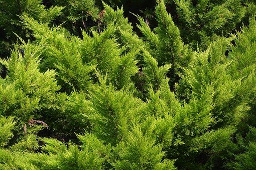Spruce, Resinous, Conifer, Vegetation, Nature