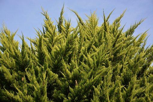 Spruce, Shrub, Resinous, Nature, Vegetation, Conifer