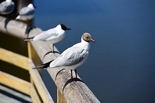 In Xinjiang, Swan Lake, Lake, Gull
