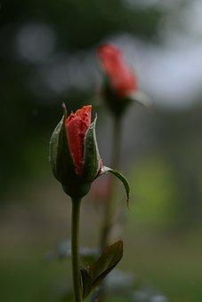 Pink, Rose, Water, Droplet, Wet, Rain, Flower, Nature