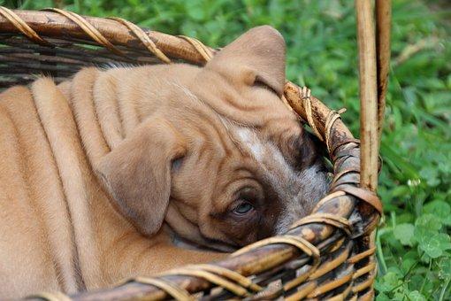 Dog Puppy, Wrinkled, Basket Wrinkles, Pup, Pet, Young