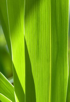 Leaf, Nerves, American Cane, Background, Texture
