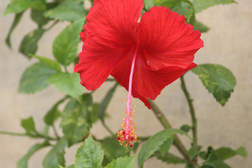 Flower, Hibiscus, China Rose, Red, Stamen, Anther