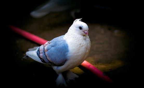 Pigeon, Bird, White, Blue, Peace, Nice, Sweet, Cute