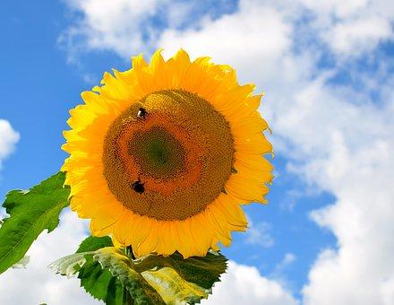 Sun Flower, Sky, Blue, Yellow, Nature, Summer, Flower