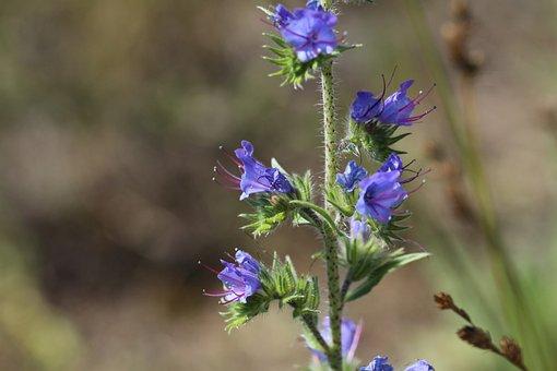 Viper's Bugloss, Blueweed, Blue Devil, Blue Thistle