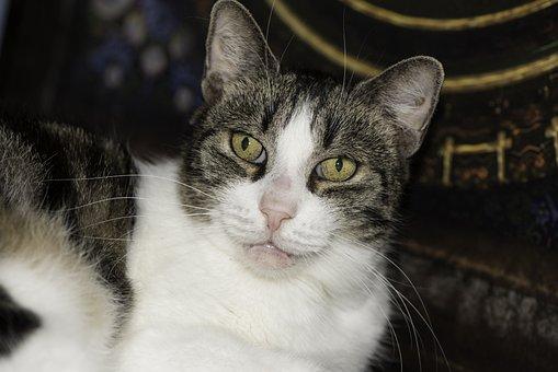 Domestic Cat Close-up, Public Record, Domestic Cat, Cat