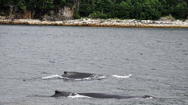 Humpback Whales, Mother And Calf, Humpback, Marine