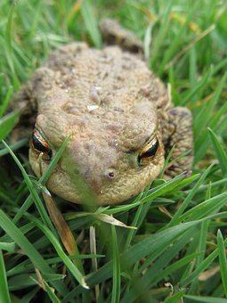Macro, Amphibians, Common Toad