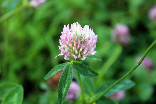 Plant, Clover, Meadow, Nature, A Flower Of The Field