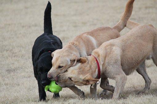 Dogs, Play, Domestic, Retriever, Labrador