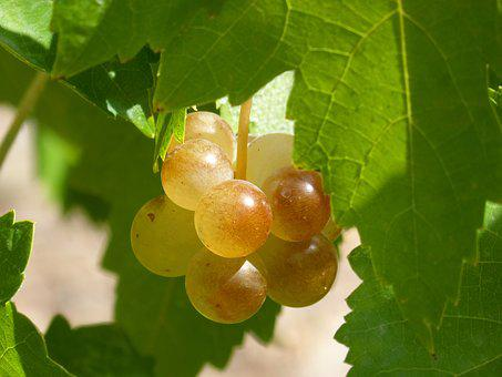 Grape, Mature, Seasoning, Macabeo, Vine, Viticulture