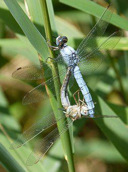 Blue Dragonfly, American Cane, Reproduction