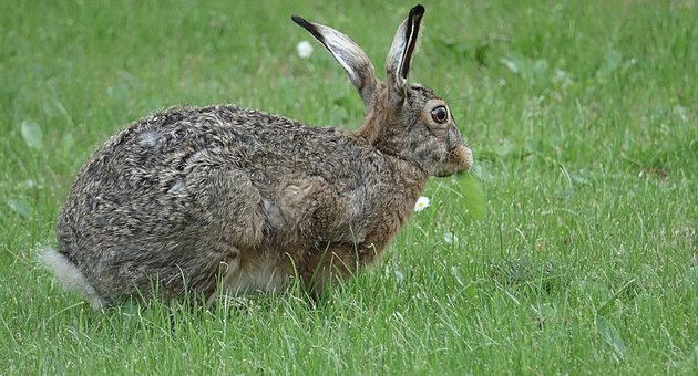 Animal, Hare, Long Eared, Cute, Rodent, Sweet, Rabbit