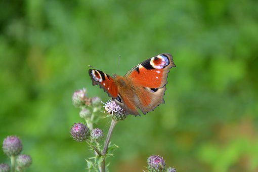 Butterfly, Thistle Flower, Nature, Fly, Forage, Insect