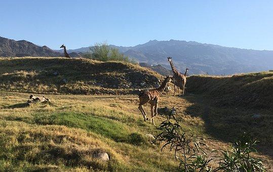 Giraffe, Sunset, Nature, Safari