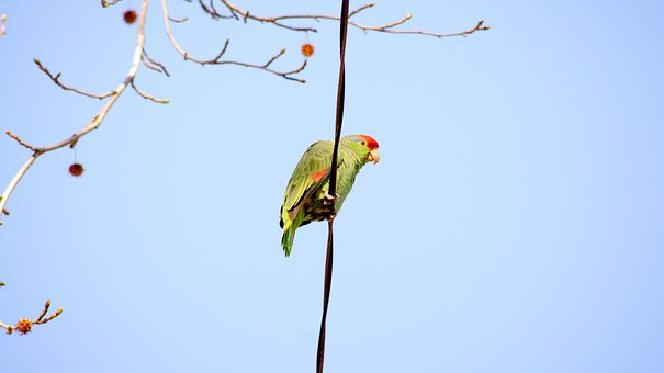 Green Parrot, Parrot, On A Wire, Wild Parrot