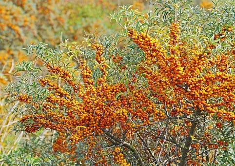 Sea Buckthorn, Berries, Infructescence, Frühherbst