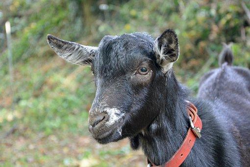 Goat, Small Goat, Alpine, Black White, Kid, Prairie