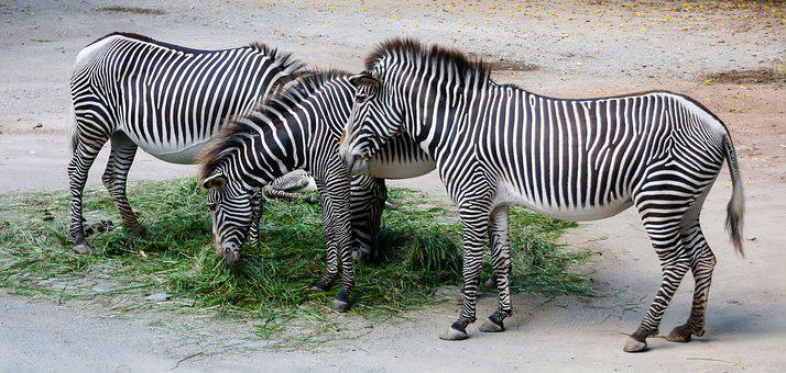Nature, Animals, Zebra, Stripes, Striped