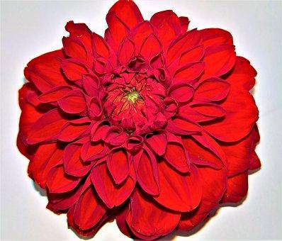 Flower, Dahlia, Flower Garden, Single Bloom, Blossomed