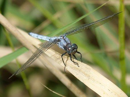 Blue Dragonfly, American Cane, Dry Leaf, Wetland