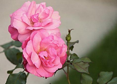 Heck Roses, Pink Corymbifera, Bush Rose, Wild Rose