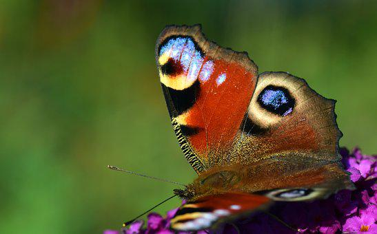 Peacock, Butterfly, Insect, Edelfalter, Macro, Flower