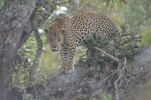 Leopard, Carnivore, Animal, Wildlife, Cat, Safari