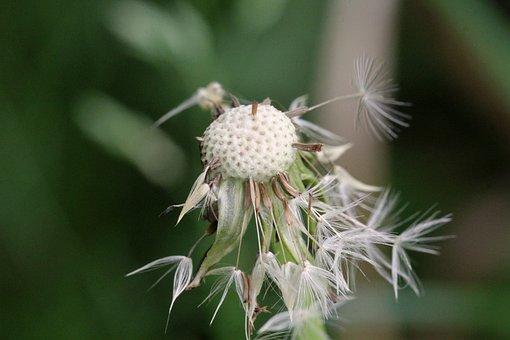 Dandelion, Wet, Green, Rain, Pointed Flower, Flower