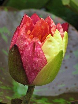 Lotus, Closed Flower, Pond Flower, Fish Pond