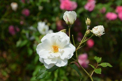 White Rose, Flower, Rosebuds, Petals, White Roses